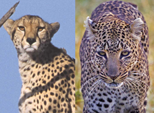 Differences between Leopards and Cheetahs