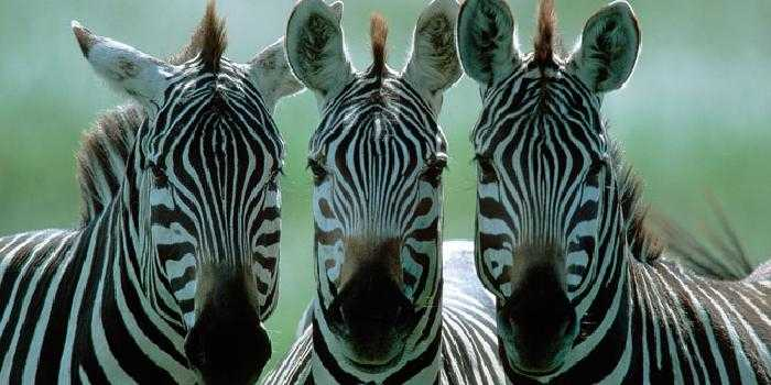 Three wise zebras