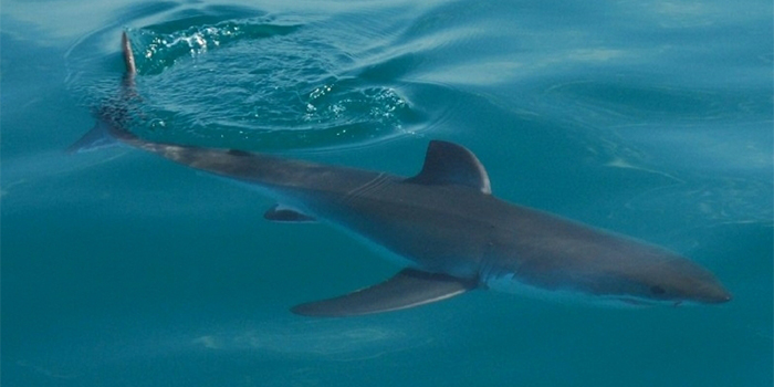 Shark at Port Elizabeth