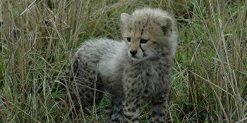 baby-cheetah-safari