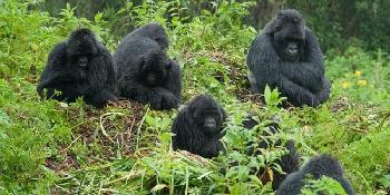 gorillas,_wildlife_&_chimps