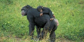 wildlife_&_chimps