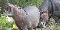 Hippos near Lake Chamo
