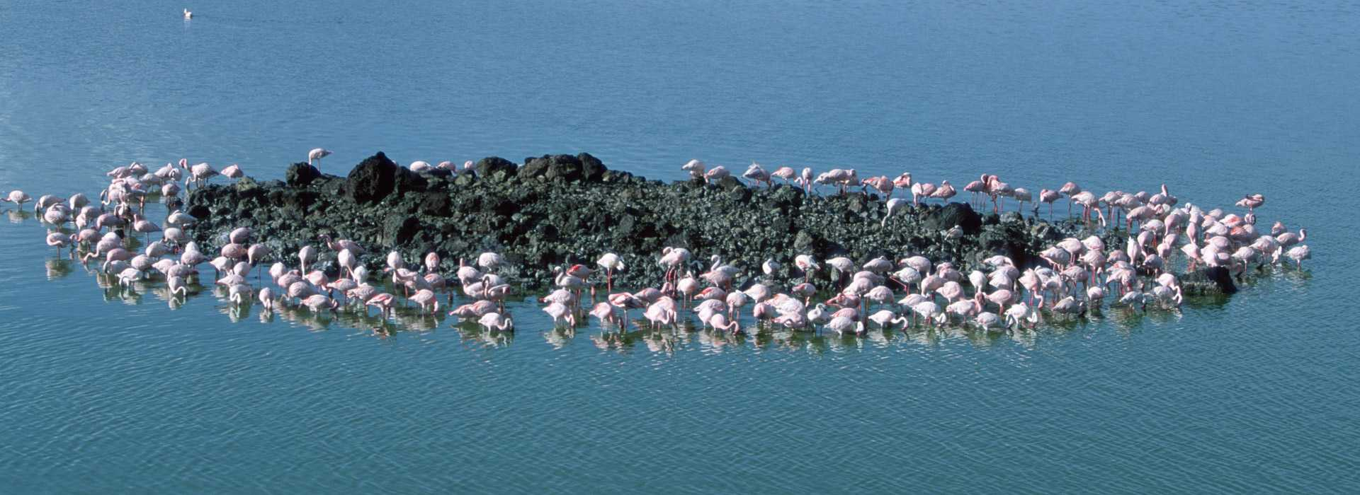 A Large Flock Of Flamingos In Arusha, Tanzania