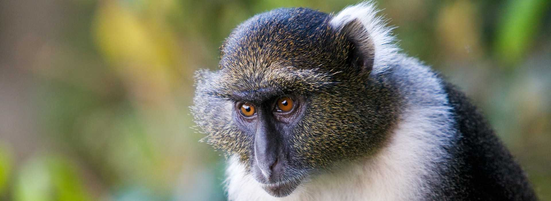 Sykes Monkey At Mount Kenya