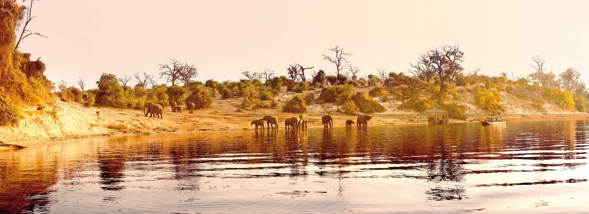 Elephants By The Chobe River At Sunset