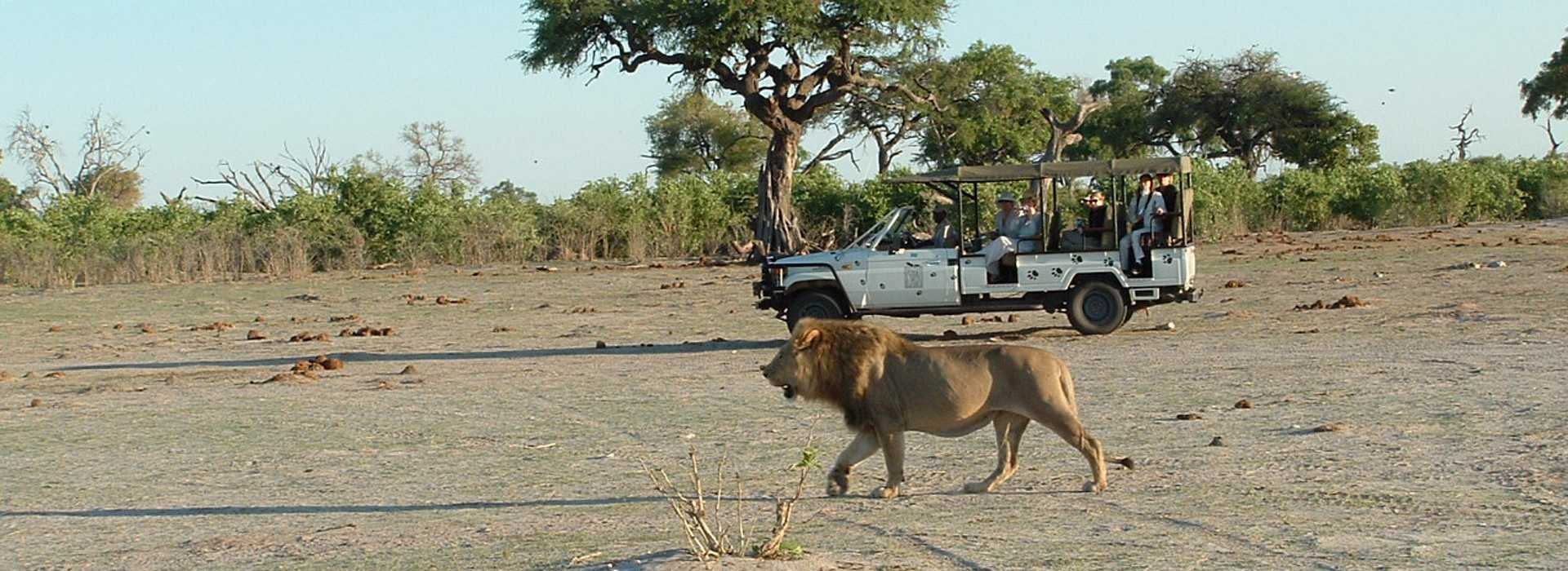 Lion Alongside Safari Vehicle In Chobe, Botswana