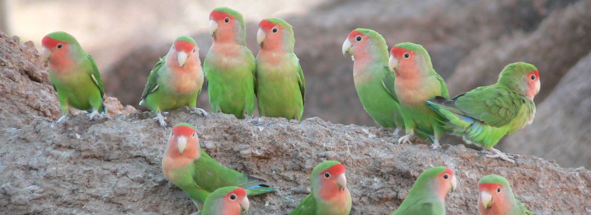 Lots Of Rosy-faced Lovebirds, Namibia