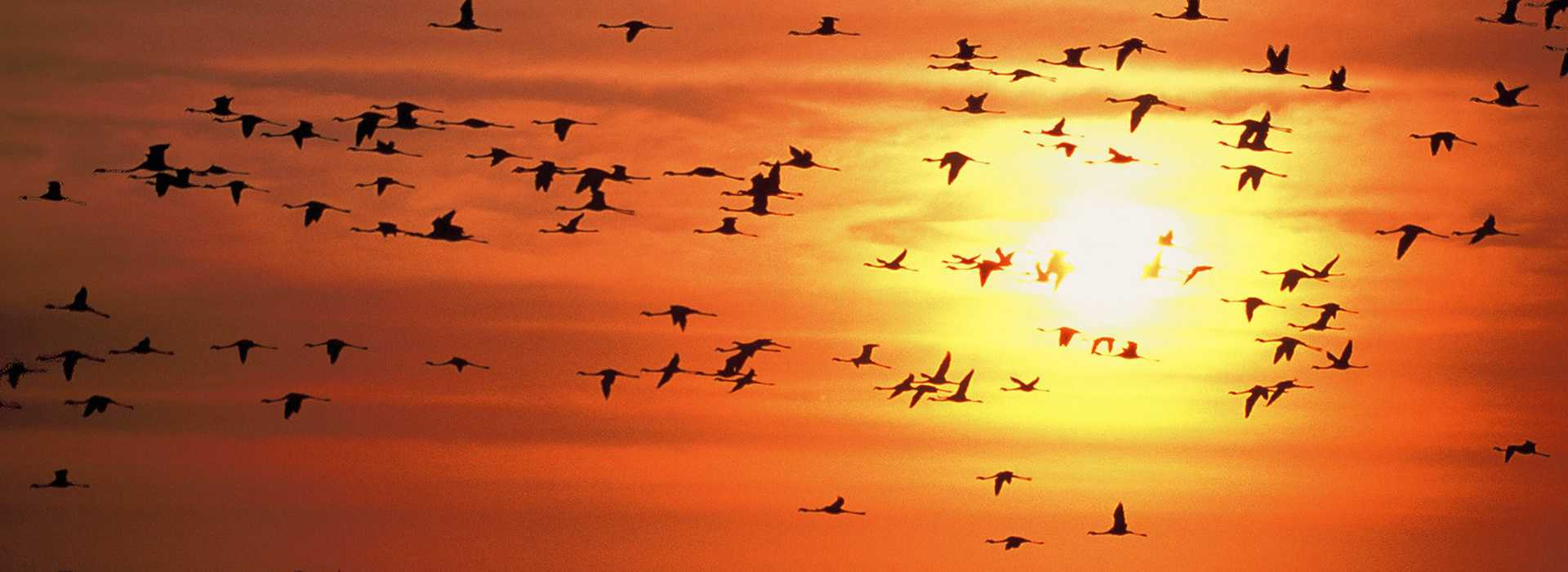 Flock Of Flying Flamingos At Sunset