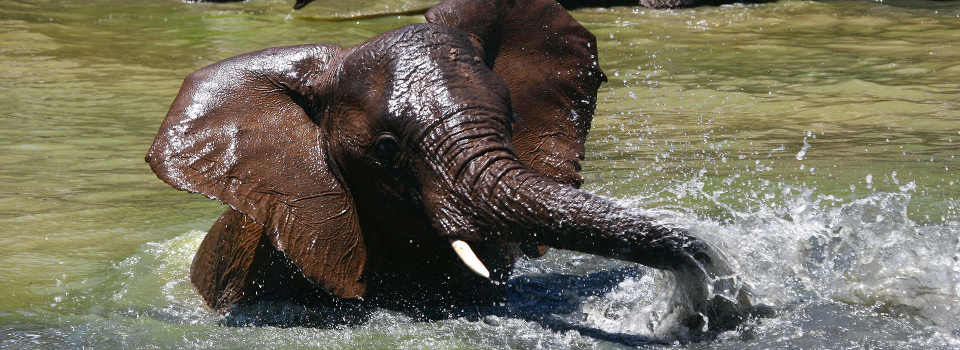 Baby Elephant Splashing In The Water