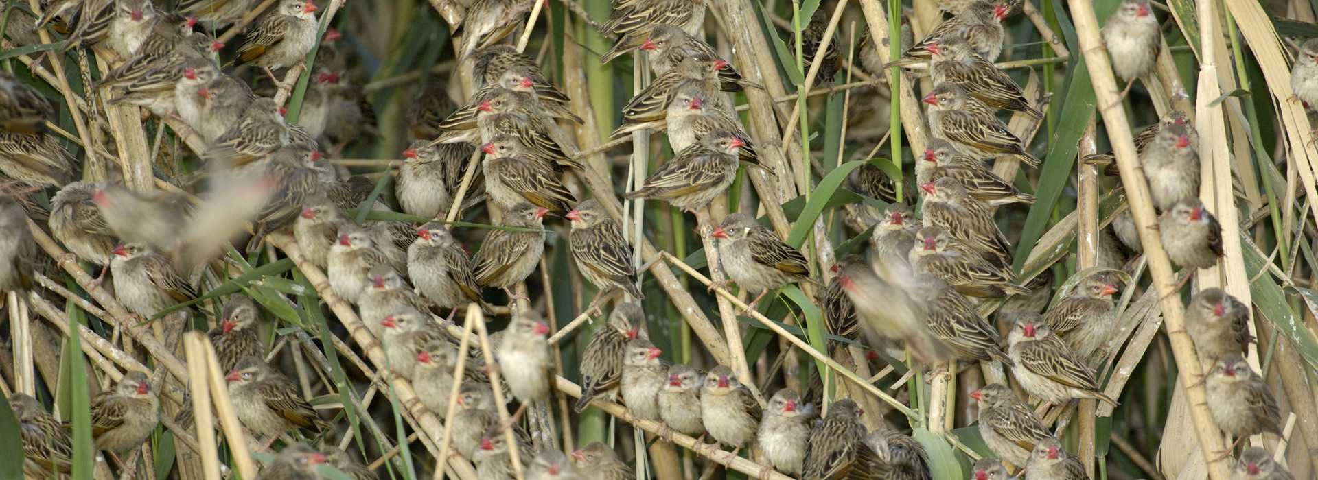Masses Of Red-billed Quelea Birds On Tree