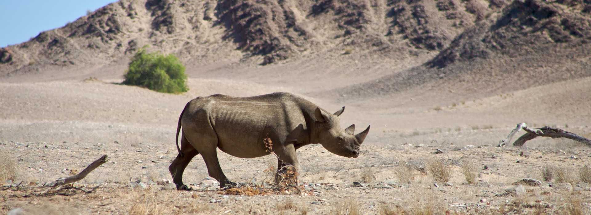 Lone Rhino Walking Across Etosha National Park