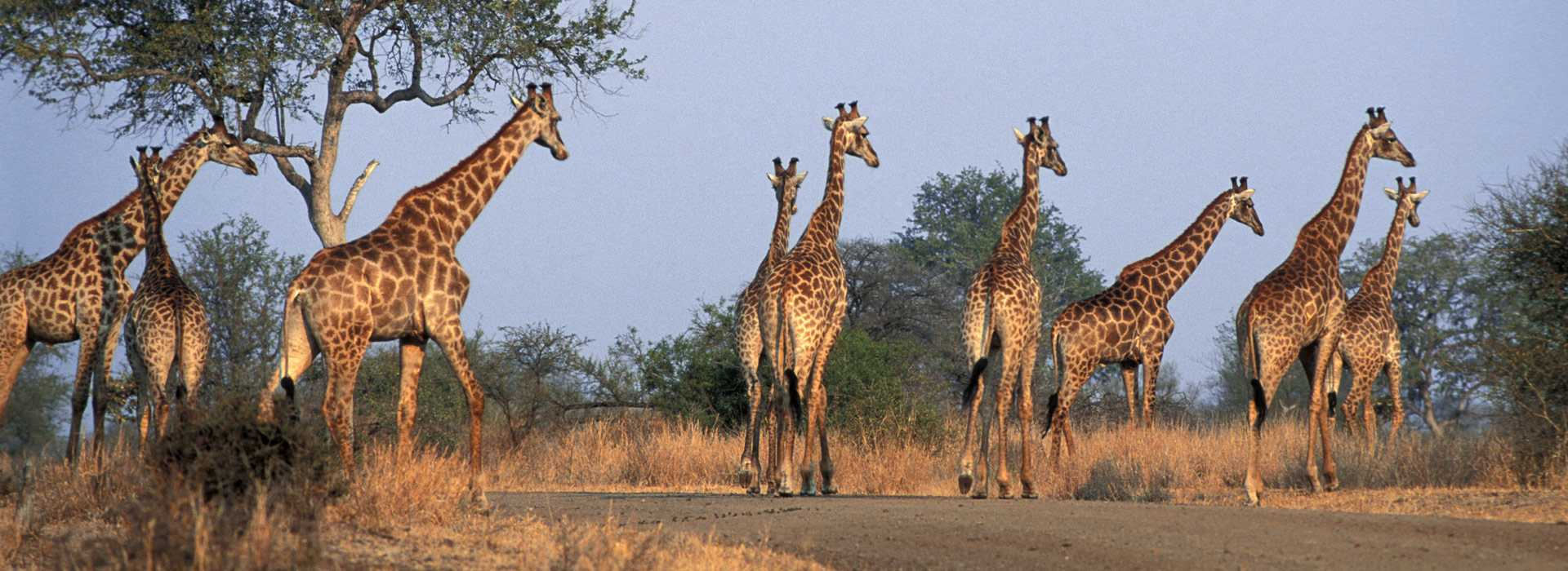 A Tower Of Giraffes In The Kruger