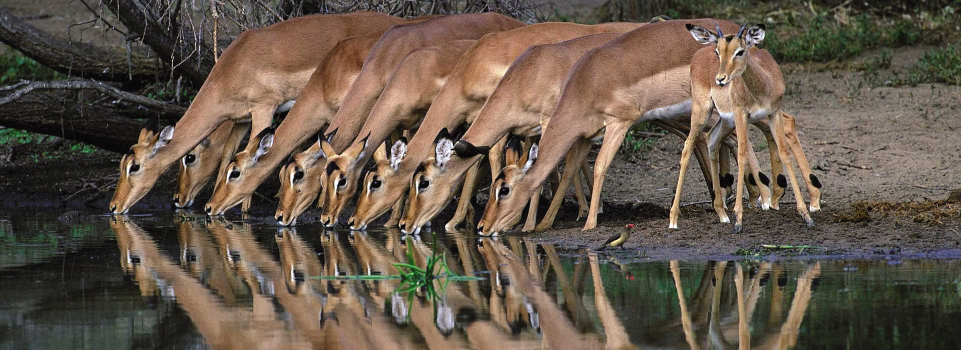 A Group Of Impala Quenching Their Thirst