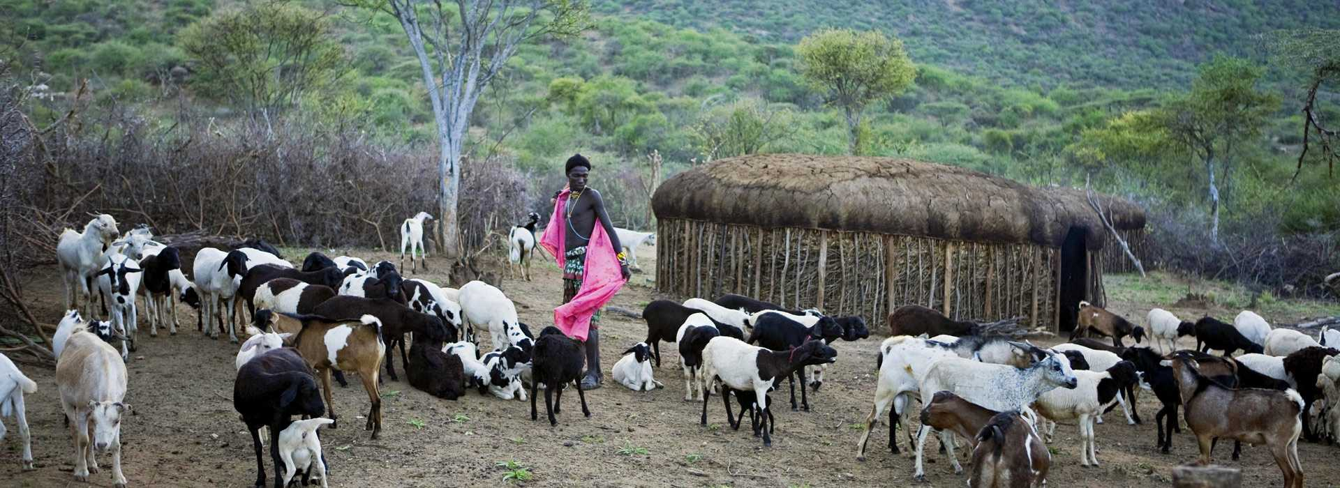 Warrior Herding Goats In Laikipia, Kenya