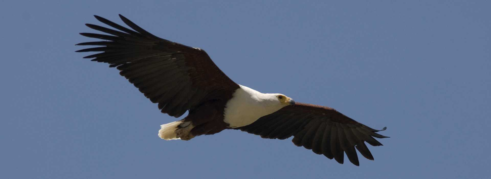 African Fish Eagle Flying Over Lake Langano