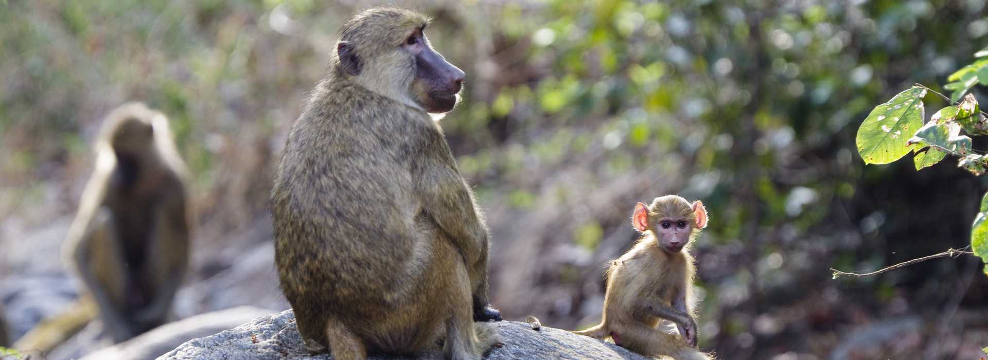 Yellow Baboon With Babies In Mahale