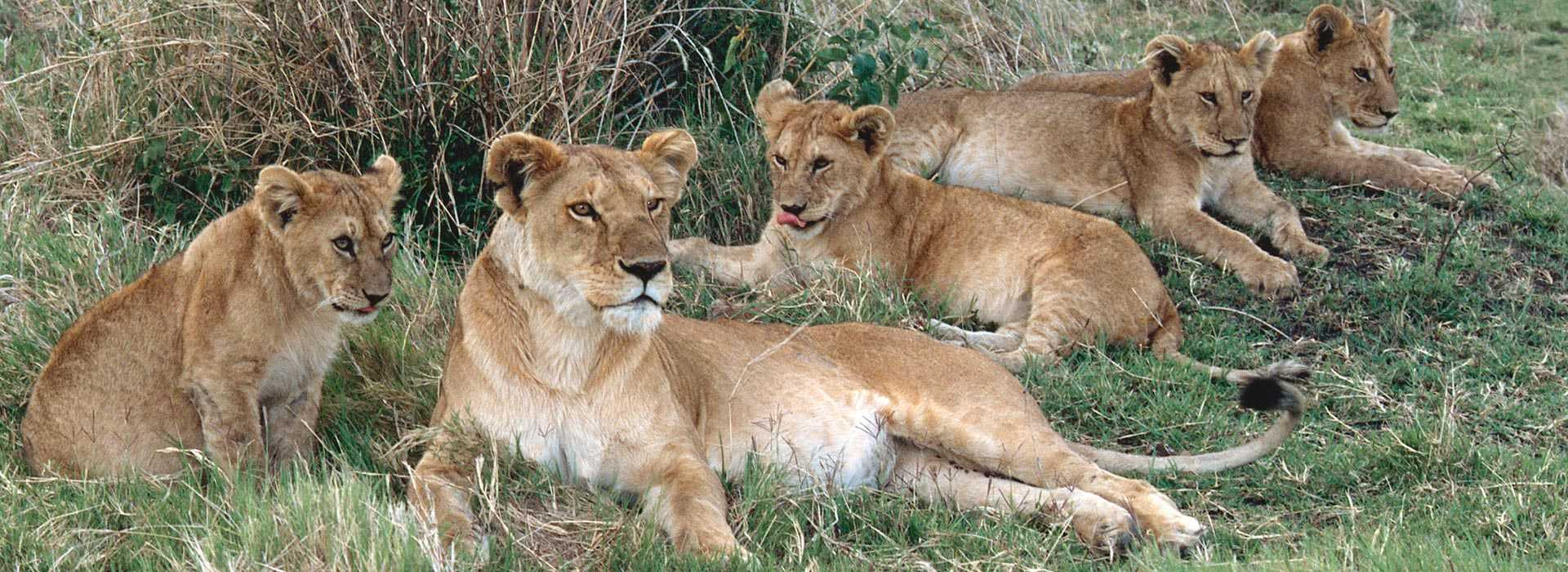 Kenya Masai Mara Safari Tours Somak Holidays - Maasai tribe wild animals attend wedding kenya