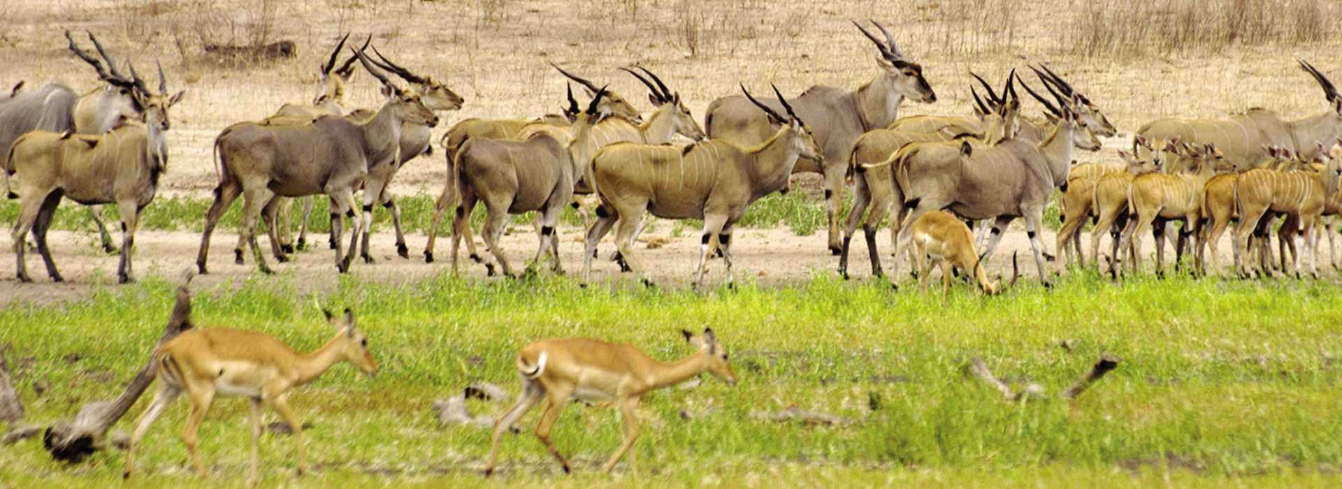 Large Herd Of Impala On The Plains