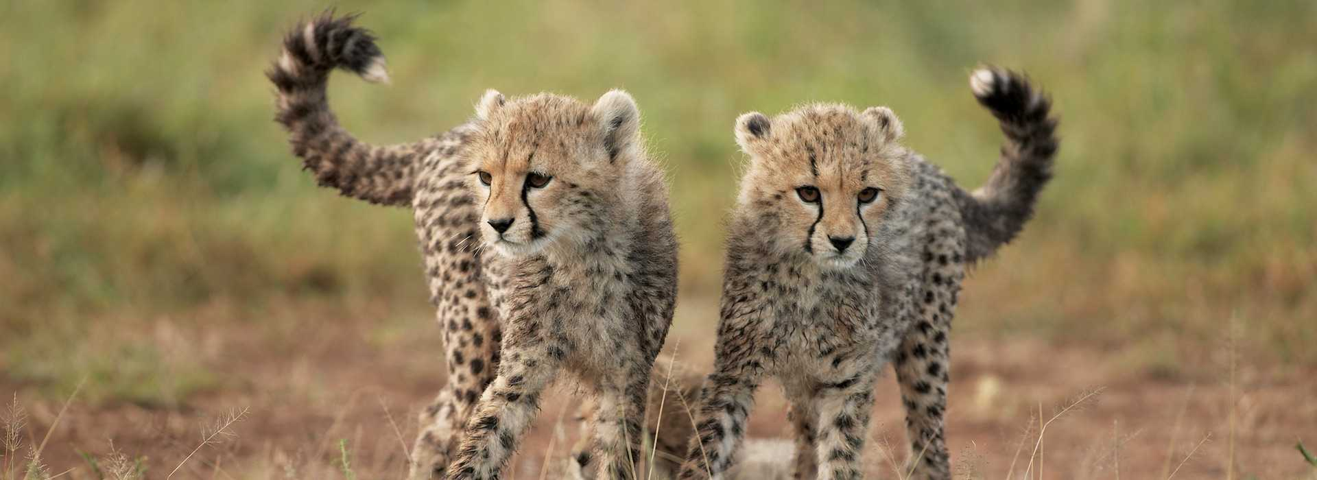 Two Adorable Cheetah Cubs