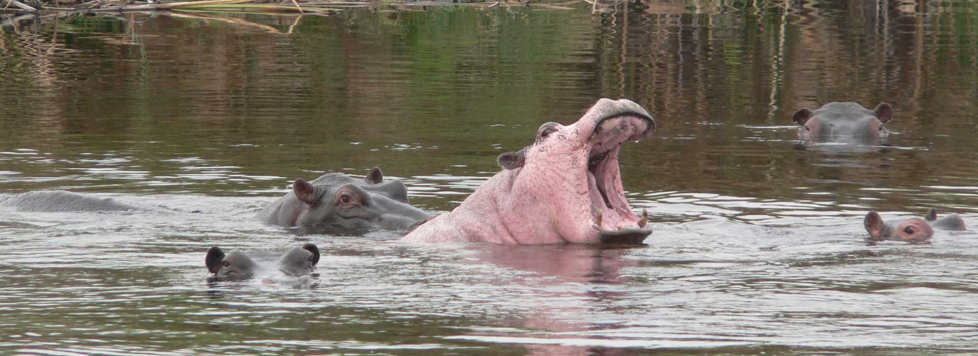 Hippos In The River, Namibia