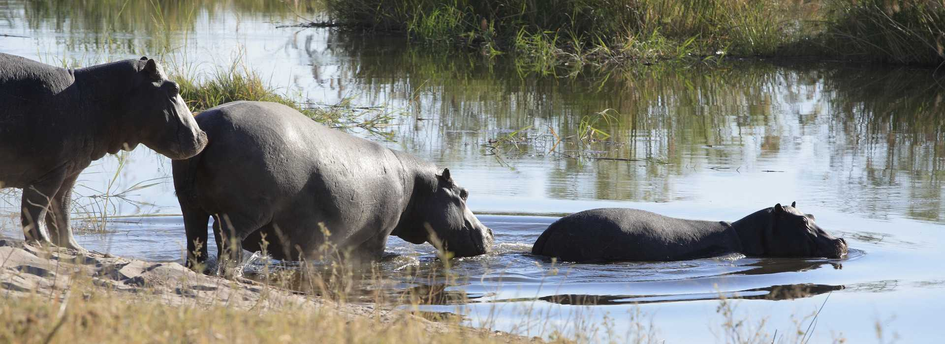 Hippos In The Water, Botswana