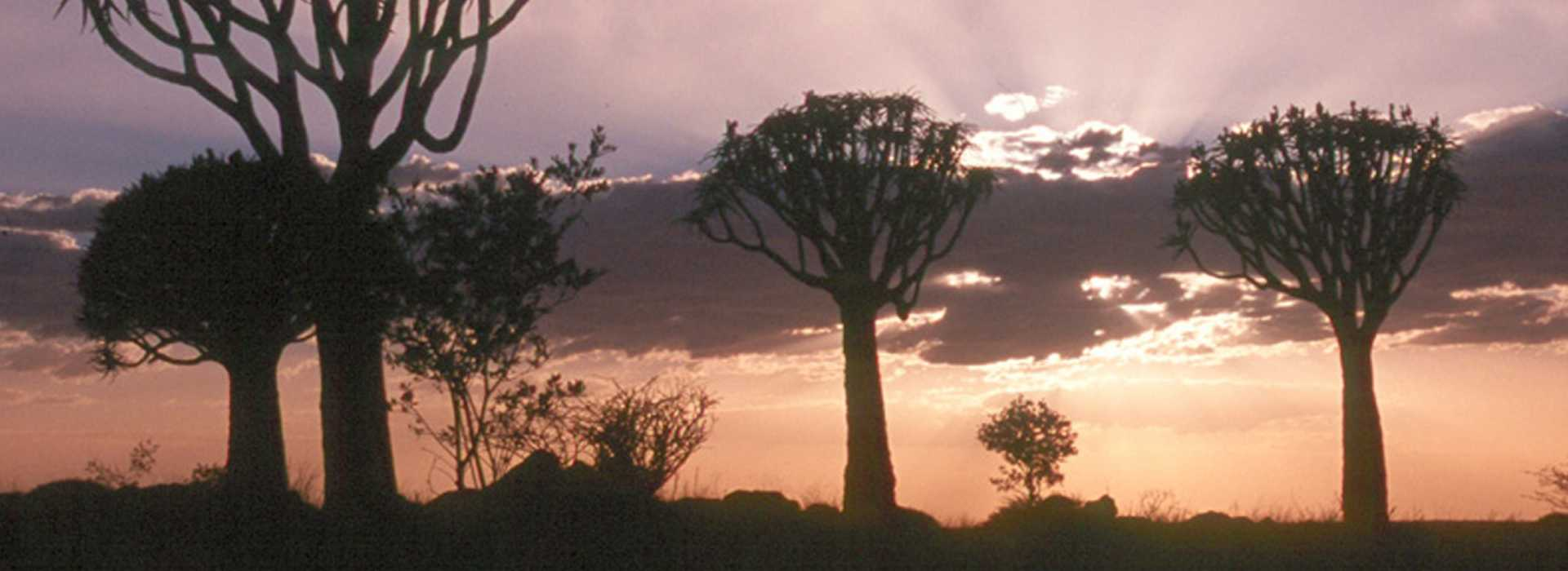 Quiver Trees At Sunset In Otavi, Namibia