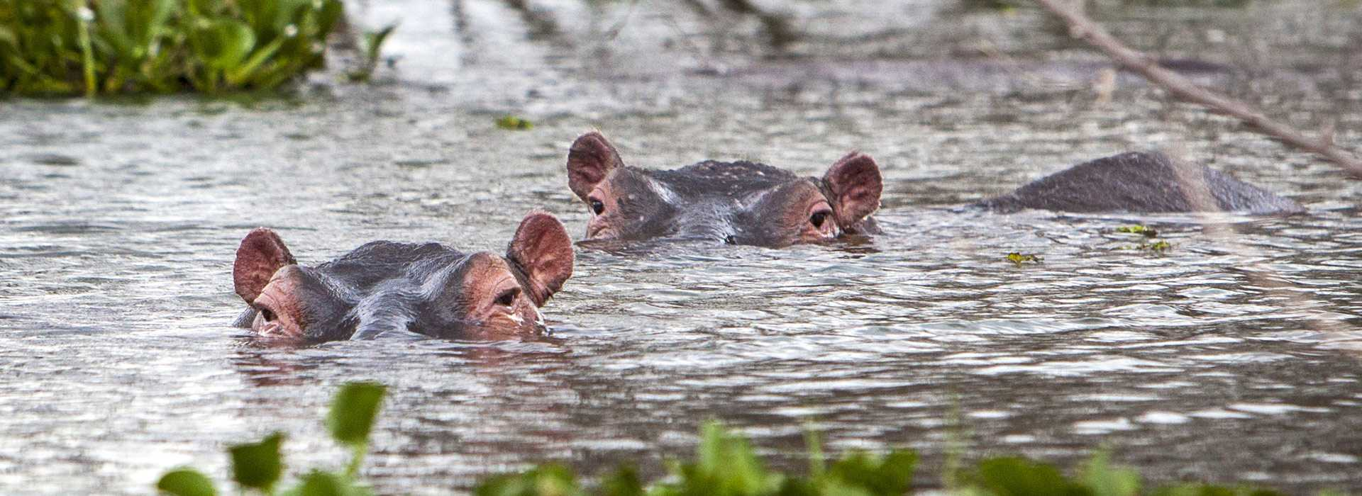 Hippos In The Lake, Kenya