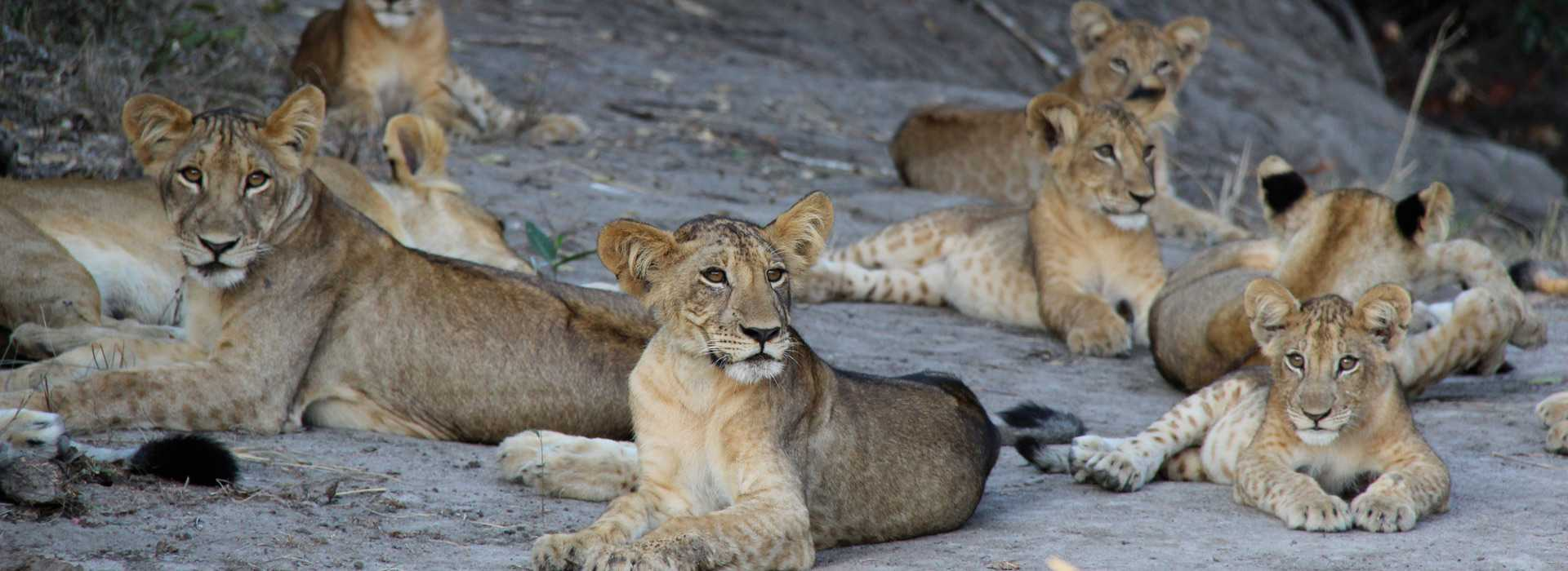 Lions In The Sand At Saadani