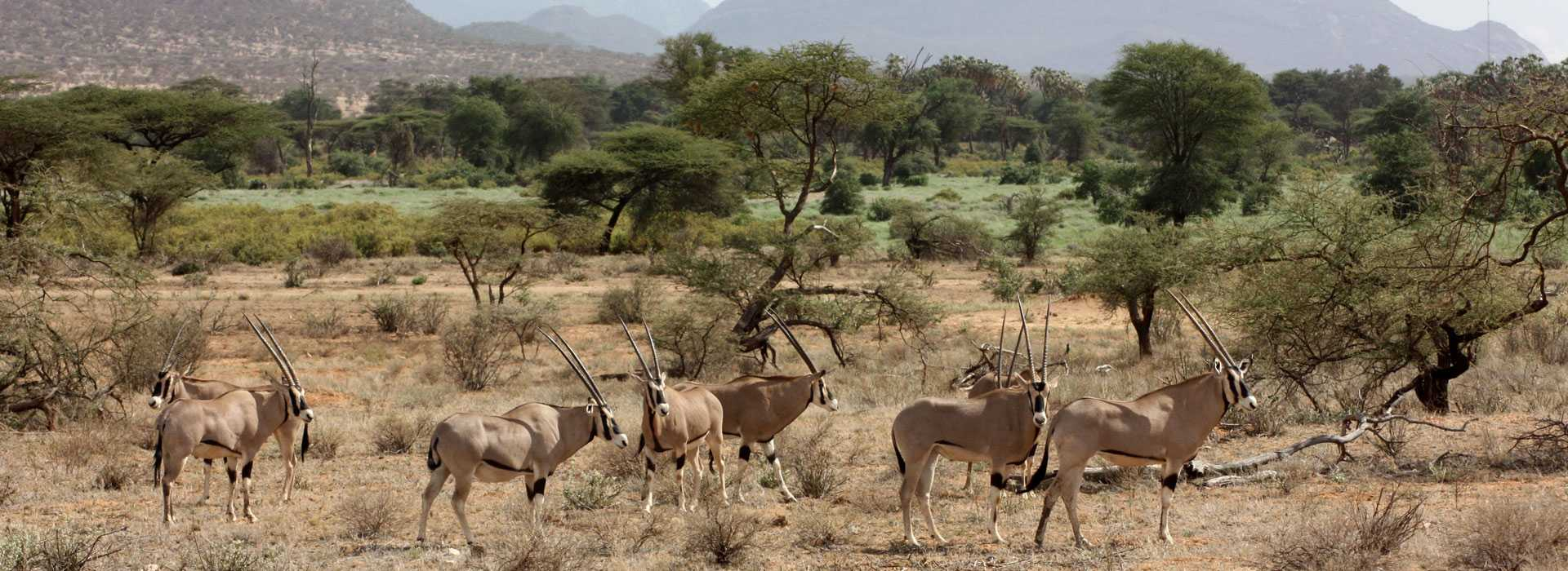 Gemsbok In Samburu, Kenya