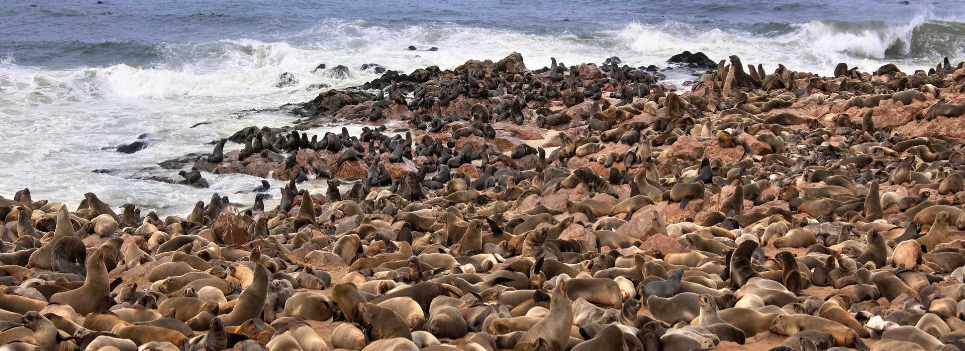 Cape Fur Seals, Skeleton Coast, Namibia