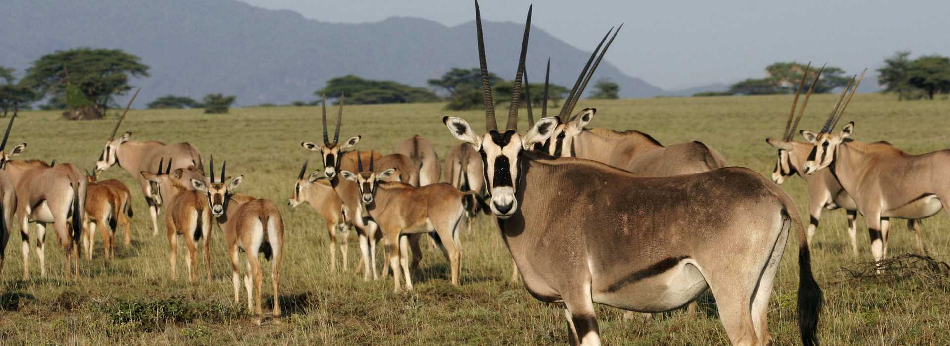 Gemsbok Antelopes In Tarangire