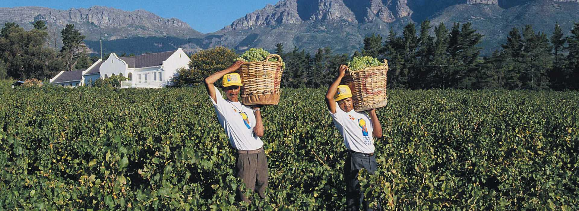 Harvesting Grapes In The Winelands