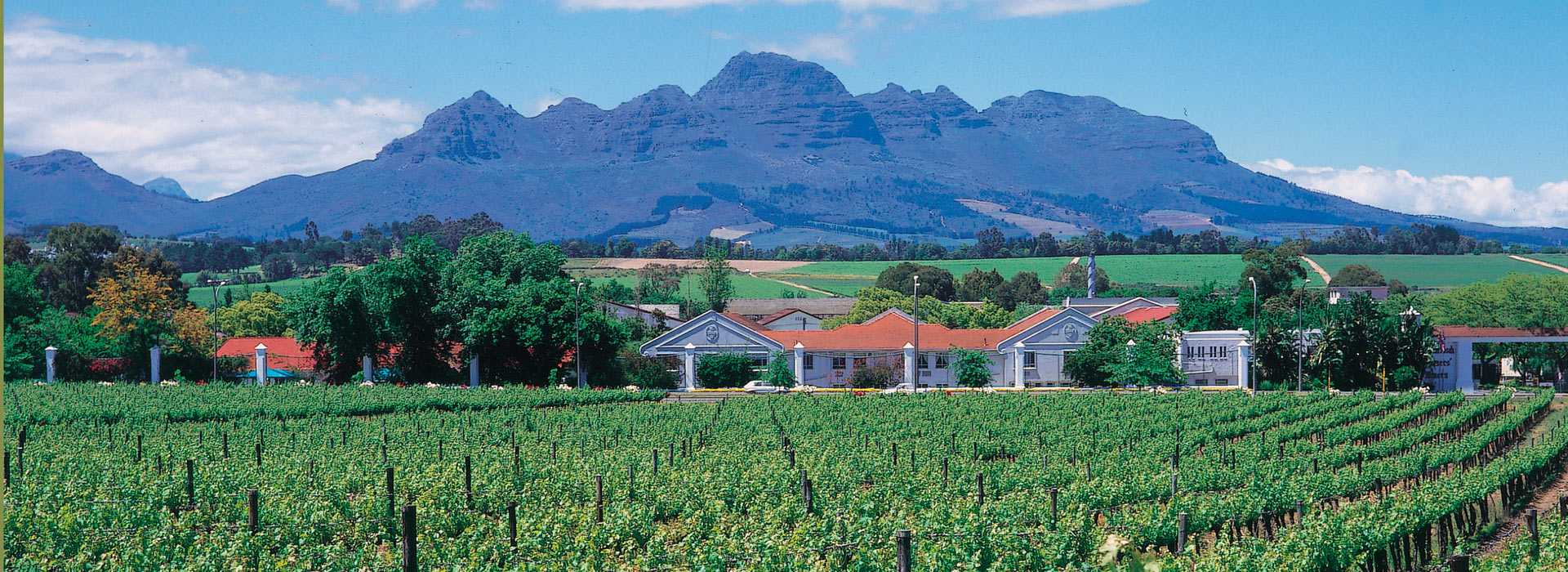 Vineyard In The Winelands, South Africa