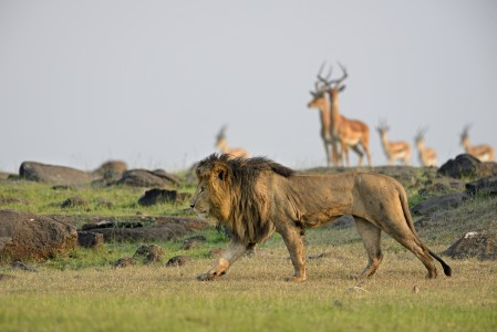 Lion in front of antelopes in the Masai Mara, Kenya