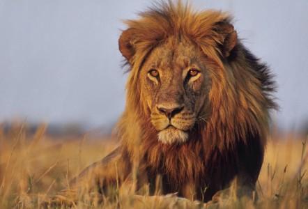 Huge lion in the Okavango Delta, Botswana