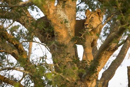 Lion in a tree, Masai Mara, Kenya