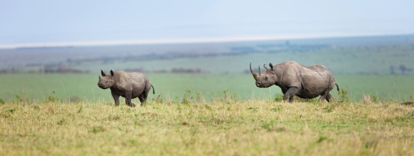 Two rhinos on the plains