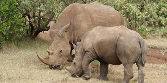 Two rhinos grazing