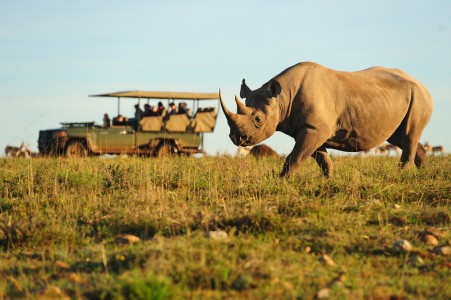 Safari vehicle beside rhino