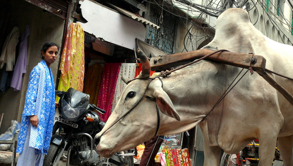 Cow in the street in Delhi, India