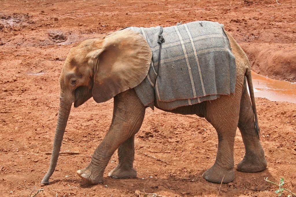 Baby elephant at David Sheldrick Elephant orphanage, Kenya