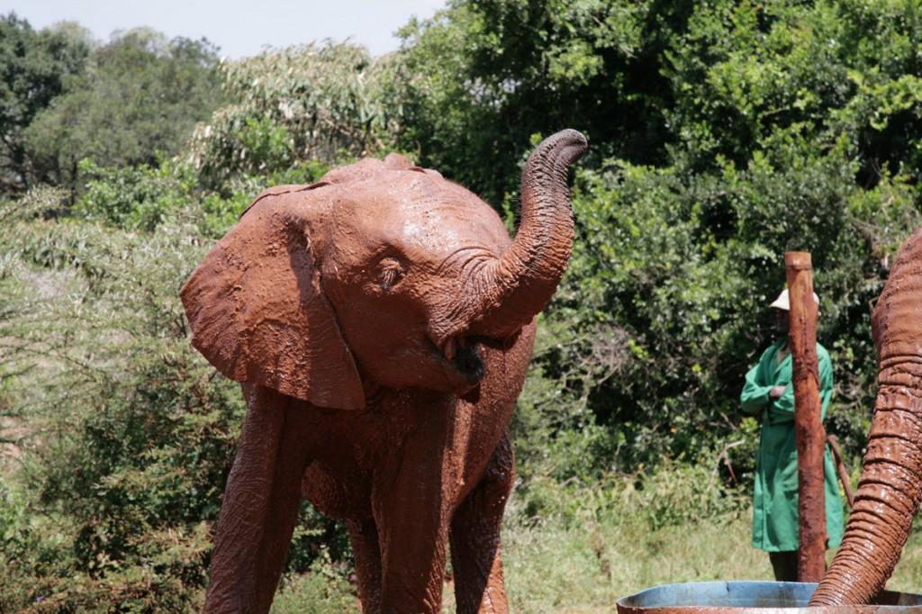 Baby elephant playing at David Sheldrick Elephant orphanage, Kenya