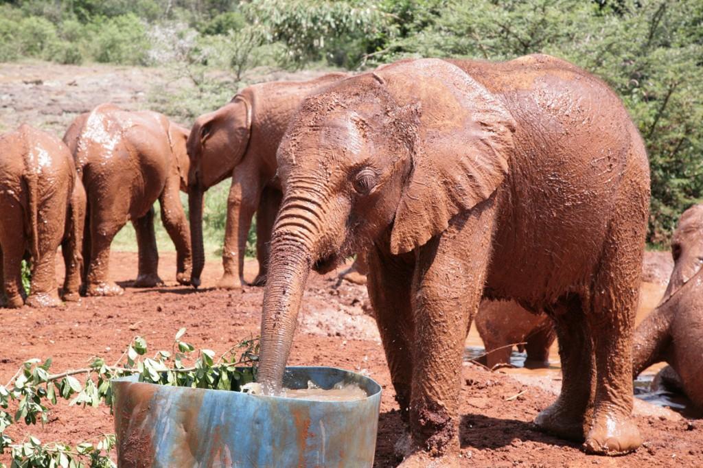 Muddy elephants at David Sheldrick Elephant orphanage, Kenya