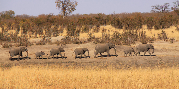 A line of elephants and their calfs in Hwange national park, Zimbabwe