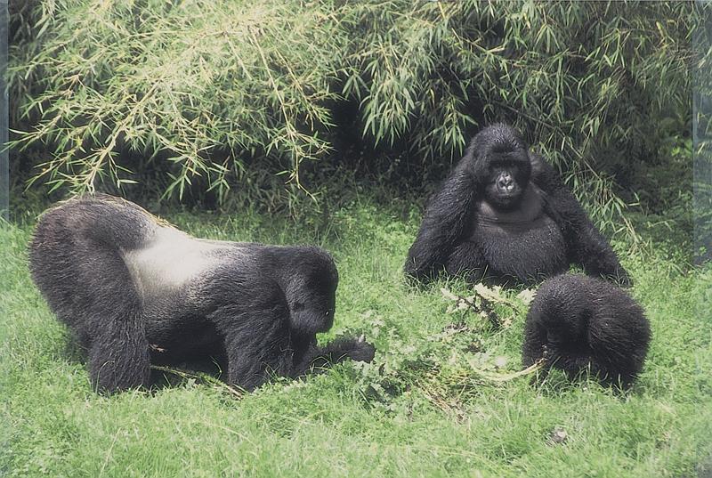 Three gorillas in Uganda