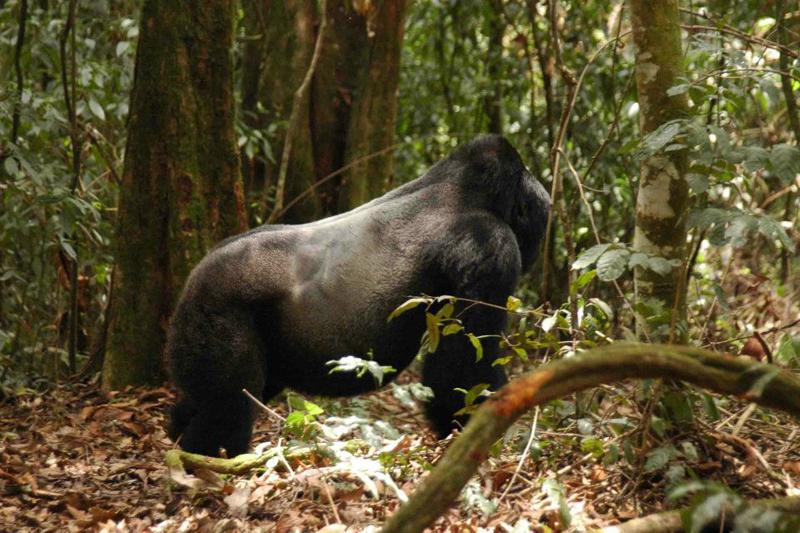 Big silverback gorilla in Uganda
