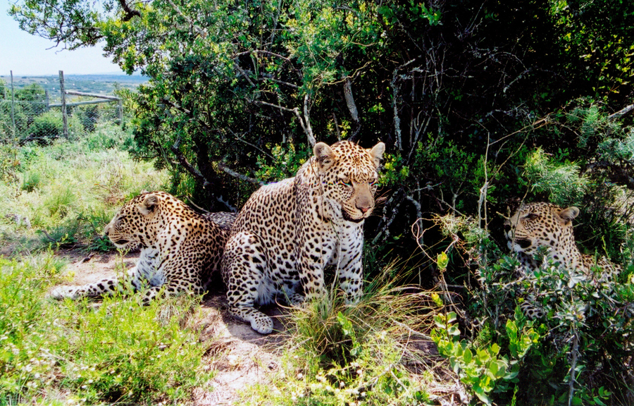 Three beautiful leopards in the Born Free Cat Sanctuary, South Africa