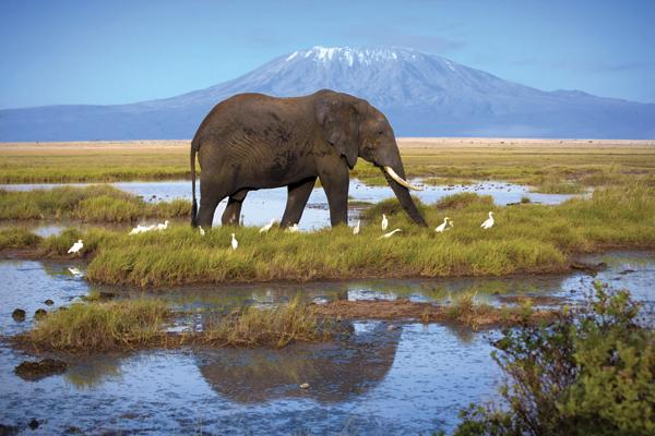 Elephant in front of Mount Kilimanjaro