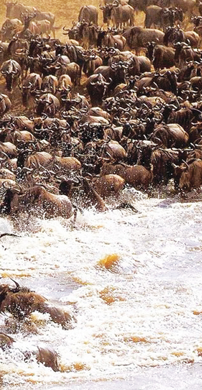 Great migration in the Masai Mara